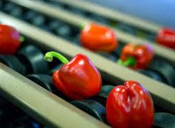 sortowanie warzyw papryka2