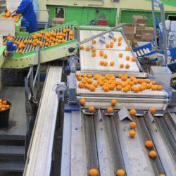 sortowanie pakowanie owocow cytrusy2